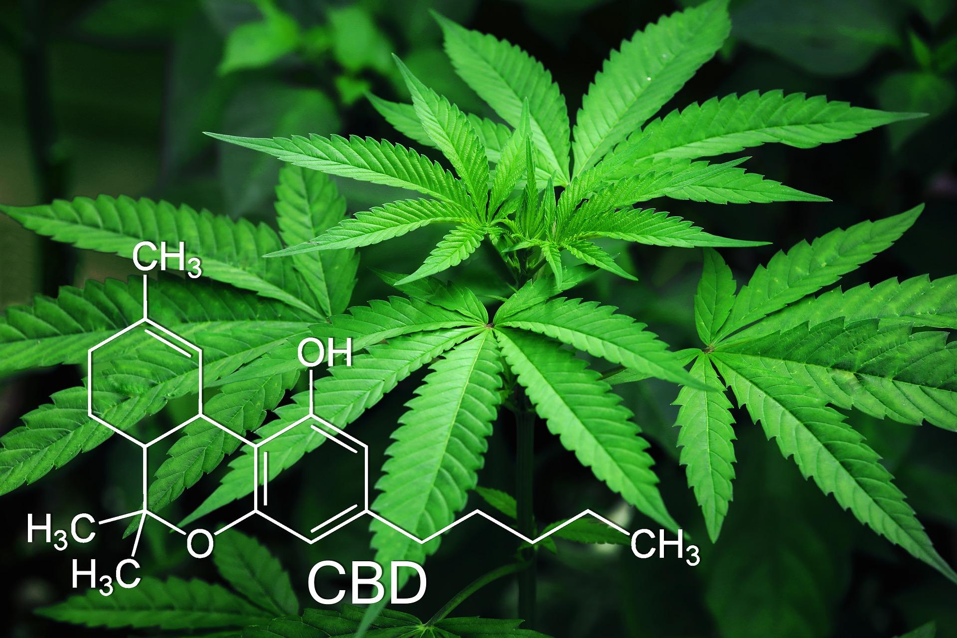 plante cbd